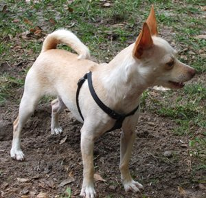 Chelsea is a Chihuahua rescue dog - cost of heartworm treatment $585