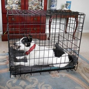 in a crate after heartworm treatment