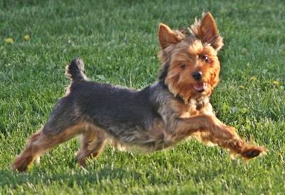 a young Yorkshire Terrier, full of life, thanks to a healthy diet that supplies all his nutritional needs